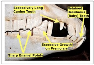 Equine Dental Malocclusions